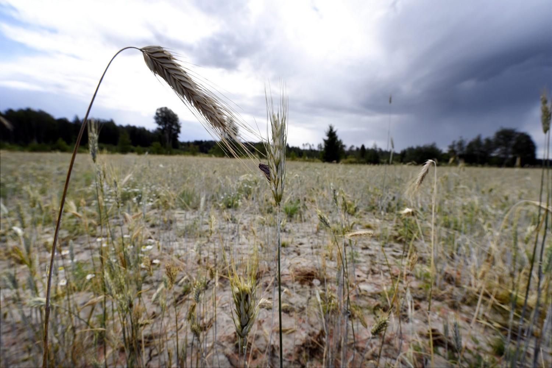 Sade pilasi sadon, helle seisautti leipomon – rajut sääilmiöt kasvattavat riskejä